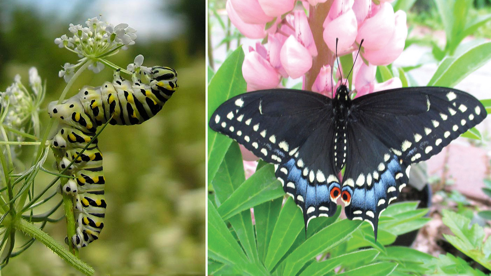 The Black Swallowtail Butterfly